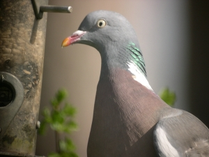 Copy (2) of Woodpigeon 1