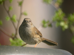 Copy of Dunnock 1