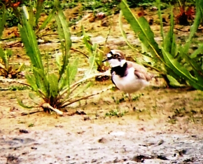 Little Ringed Plover - Titchwell RSPB 2014