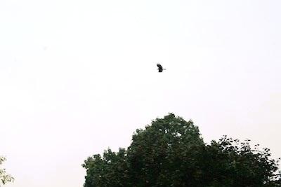 soaring-vulture1